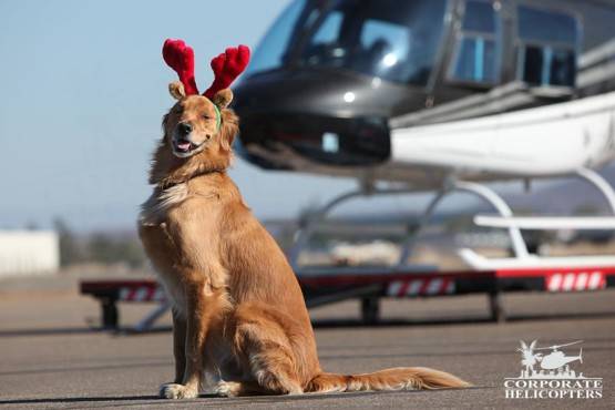 Corporate Helicopters' goodwill ambassador, Maverick, with an R44.